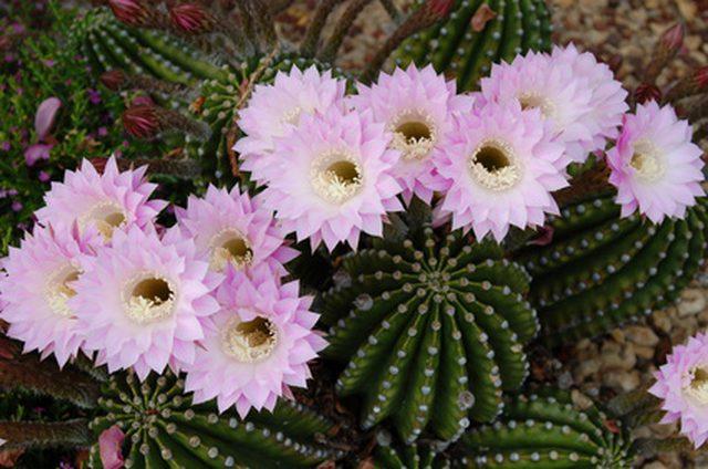 Kaktusi - Page 36 Fotoli11
