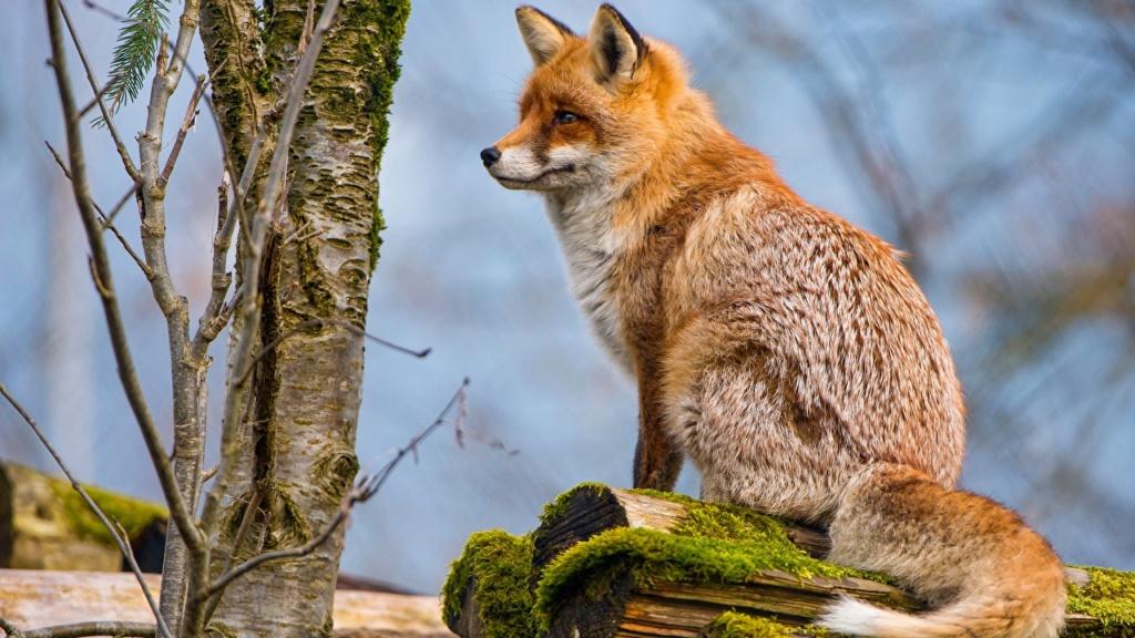 Divlje životinje Foxes_15