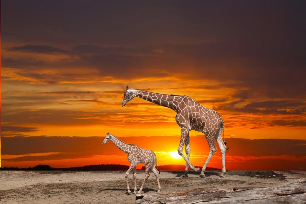 Divlje životinje Giraff15