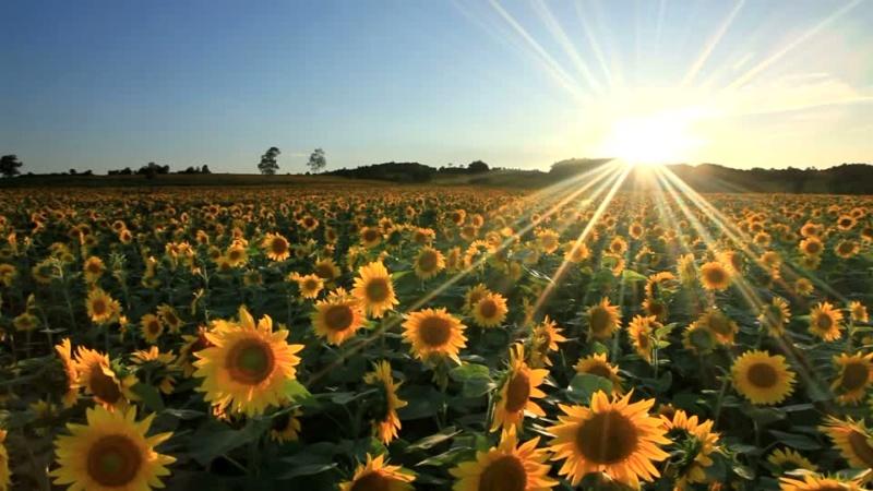 Suncokreti-sunflowers - Page 33 Giraso11