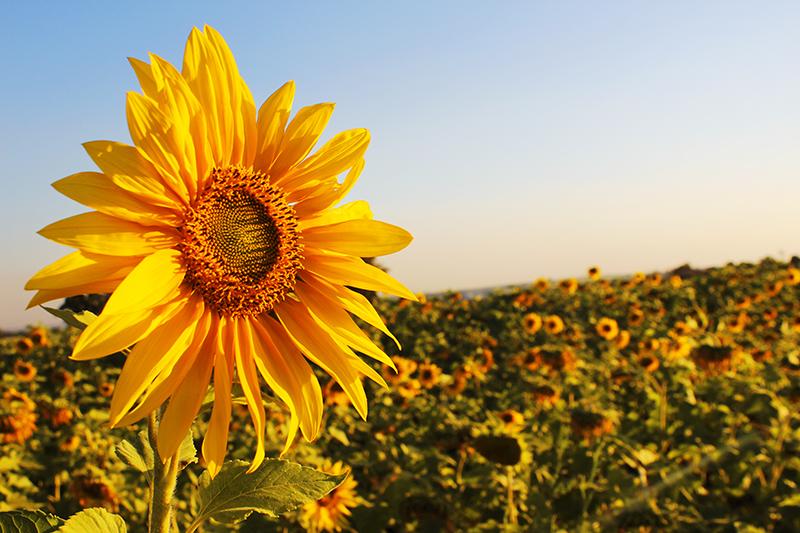 Suncokreti-sunflowers - Page 30 Girass10