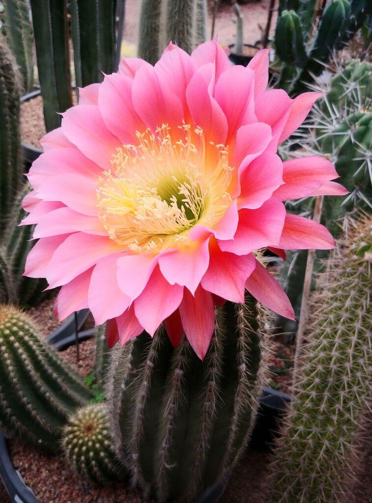 Kaktusi - Page 40 Grandi11