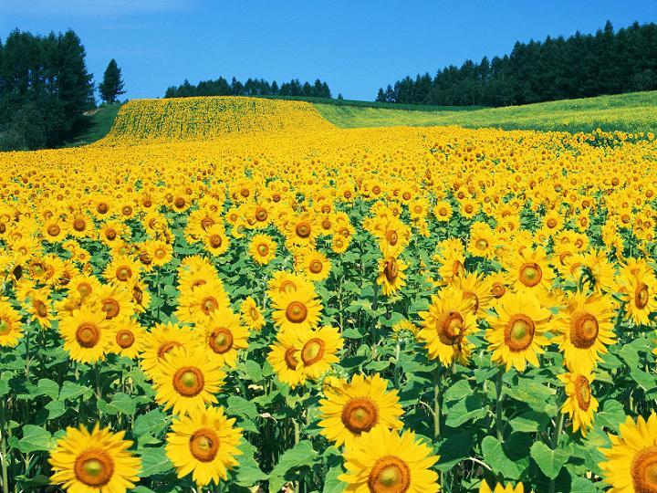 Suncokreti-sunflowers - Page 29 Guneba10