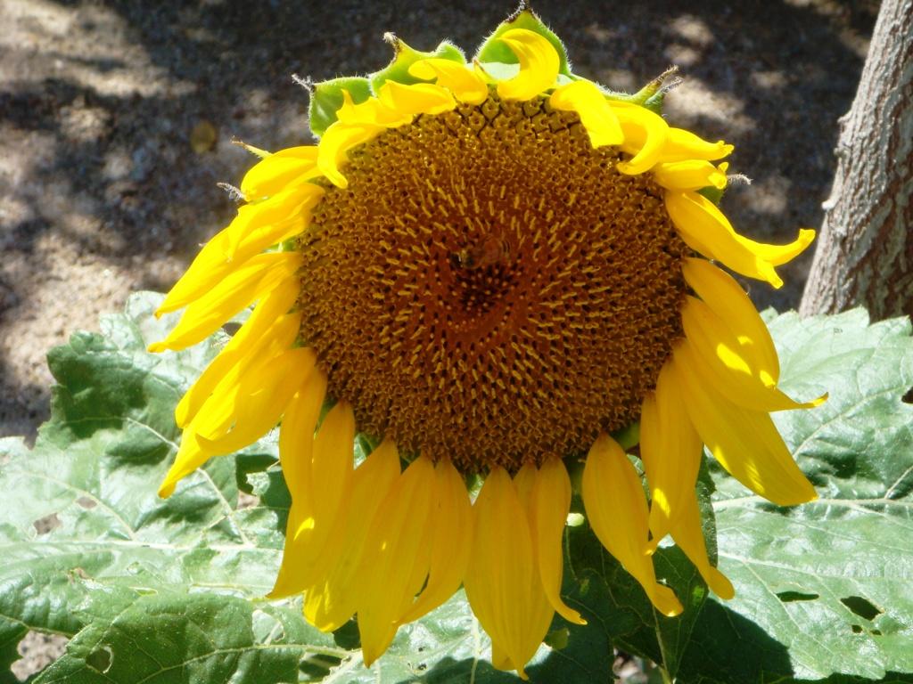 Suncokreti-sunflowers - Page 29 Helian10