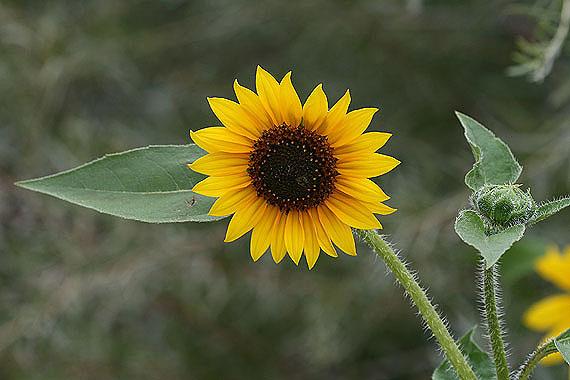 Suncokreti-sunflowers - Page 29 Helian11
