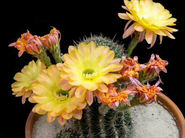 Kaktusi - Page 36 Image_15