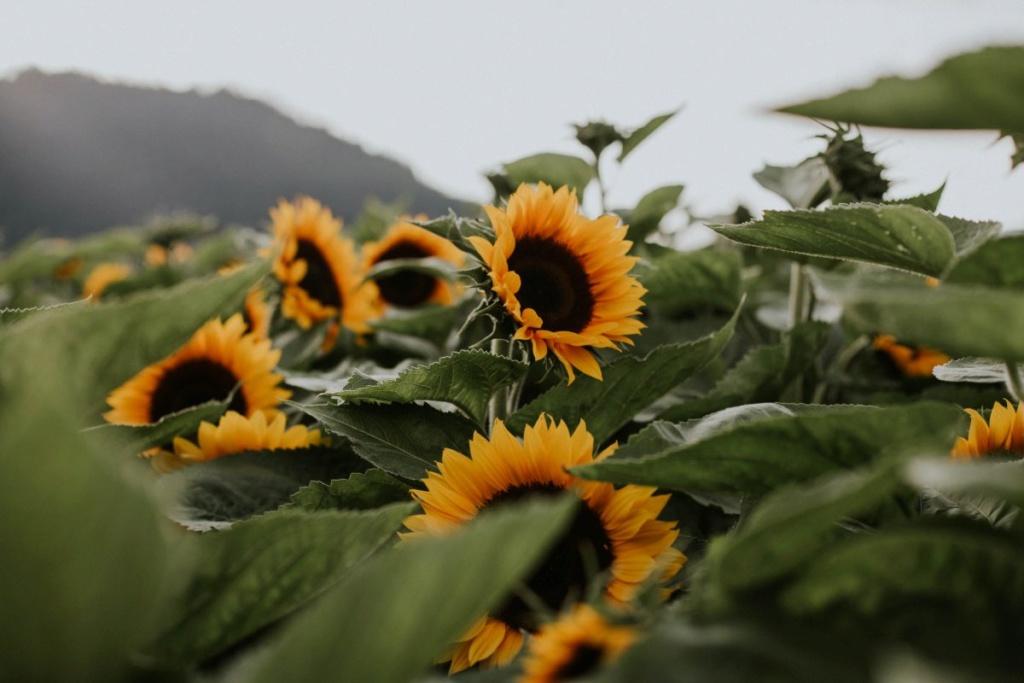 Suncokreti-sunflowers - Page 33 Img_4610