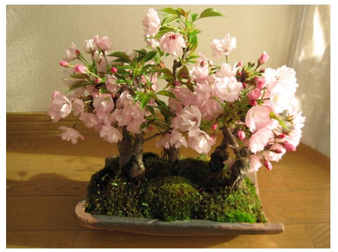 Bonsai - Page 34 Japane10