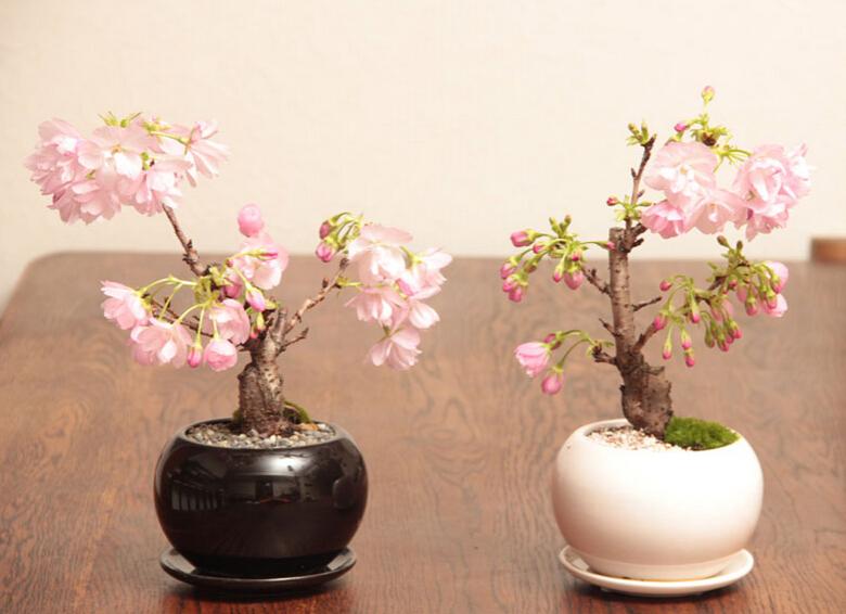 Bonsai - Page 34 Japane11