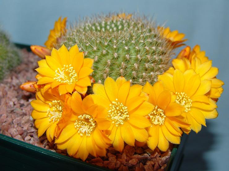Kaktusi - Page 36 Kaktus10