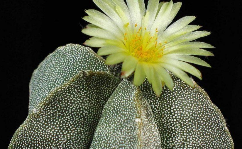 Kaktusi - Page 36 Kaktus12