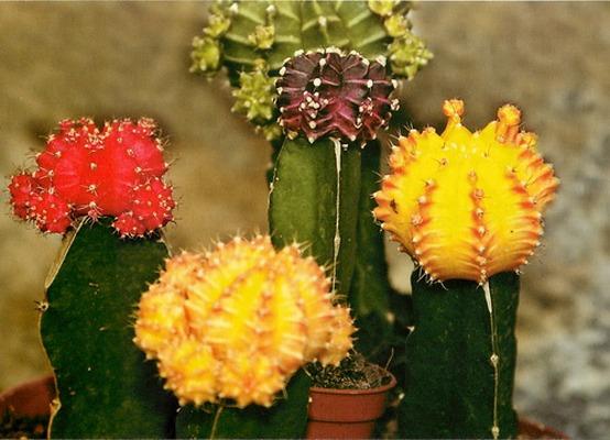Kaktusi - Page 37 Kaktus13