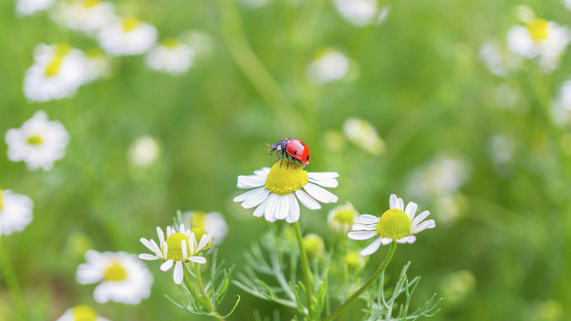 Leptiri i ostali insekti - Page 3 Ladybu15