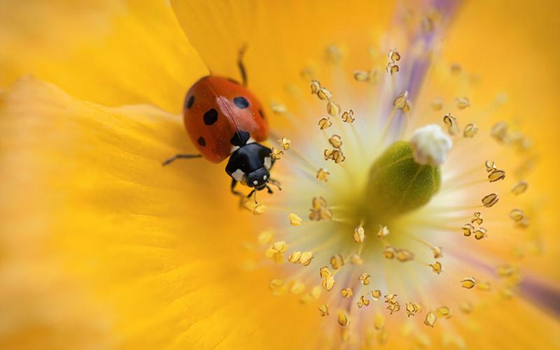 Leptiri i ostali insekti - Page 3 Ladybu16