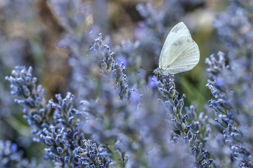 Leptiri i ostali insekti Lavand15