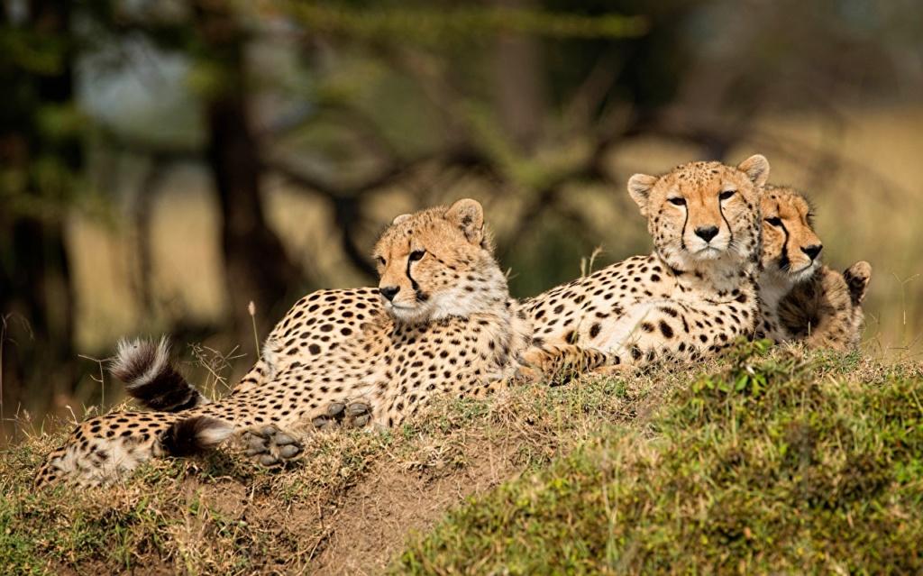 Divlje životinje Leopar10