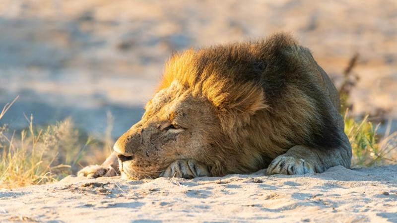 Divlje životinje - Page 3 Lions_13