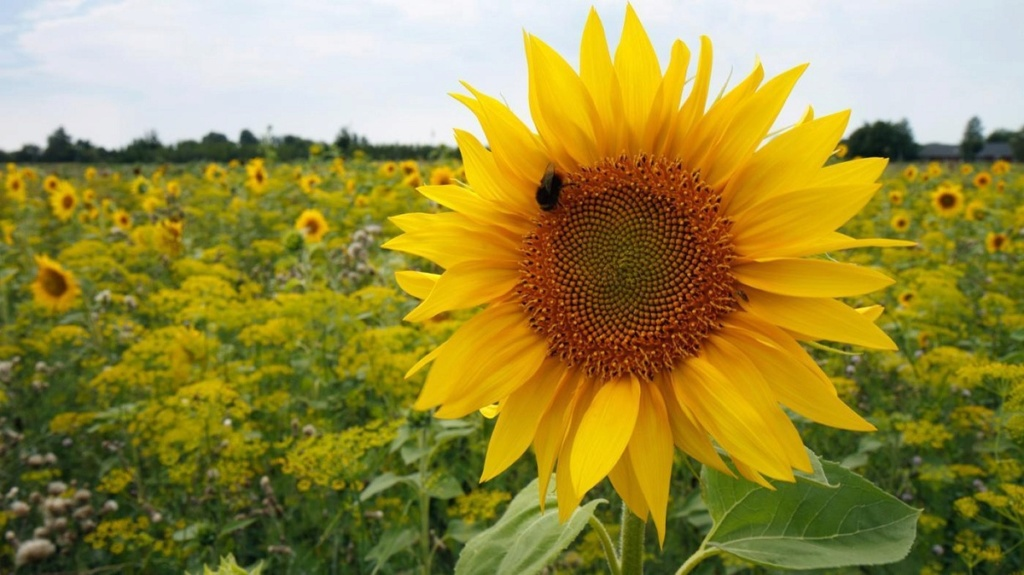 Suncokreti-sunflowers - Page 30 Menana10