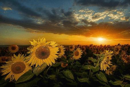 Suncokreti-sunflowers - Page 33 Mid_1713