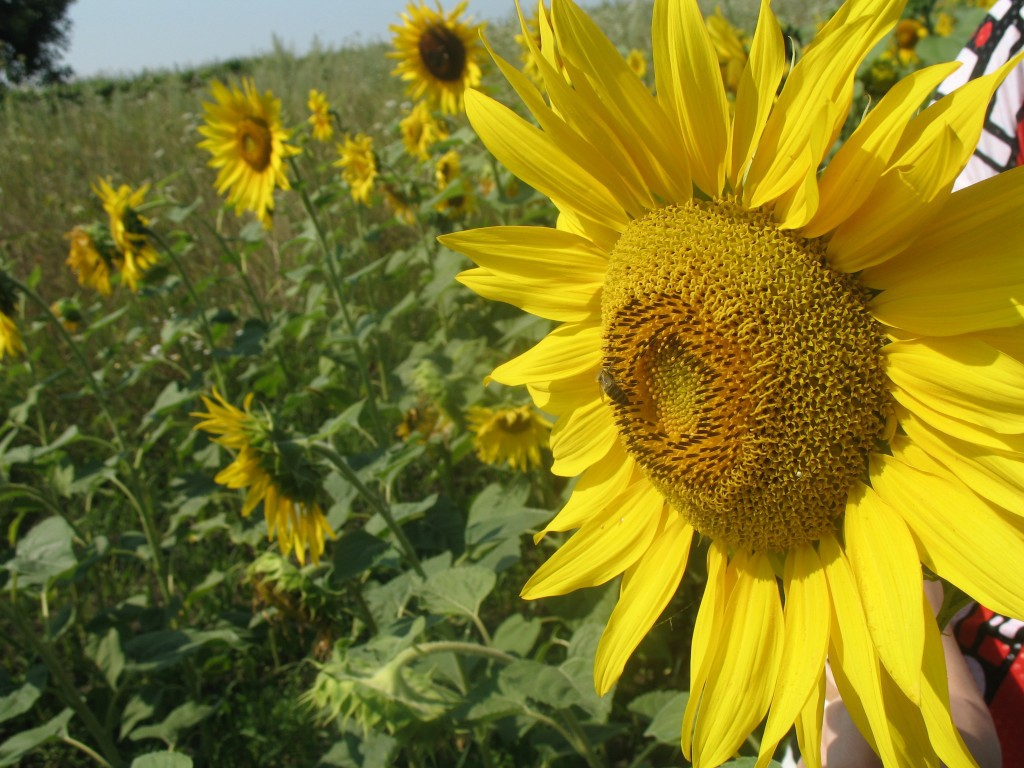 Suncokreti-sunflowers - Page 28 Natura10