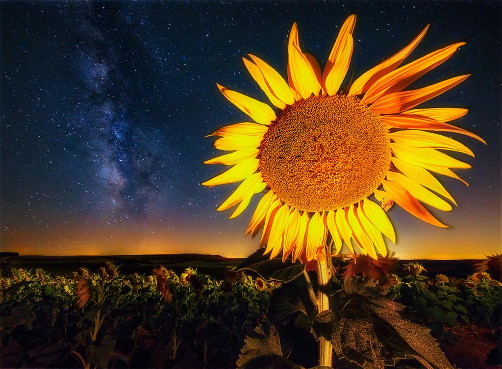Suncokreti-sunflowers - Page 29 Pacofa10
