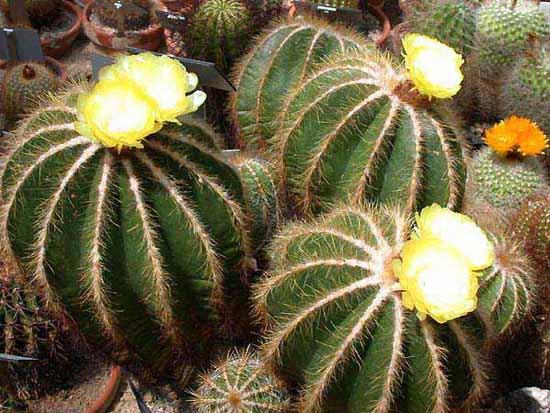 Kaktusi - Page 36 Parodi11