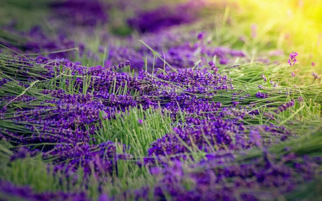 polja lavande - Page 27 Purple10