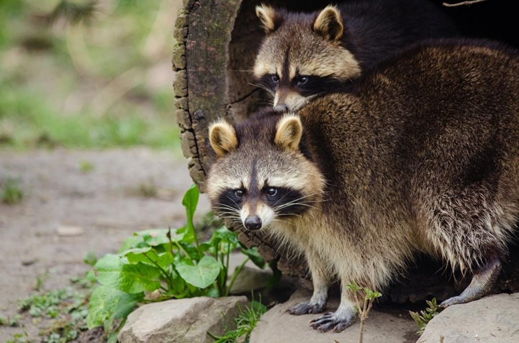 Divlje životinje Raccoo13