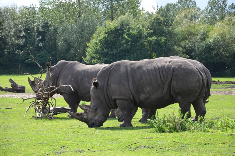 Divlje životinje - Page 3 Rhinoc10