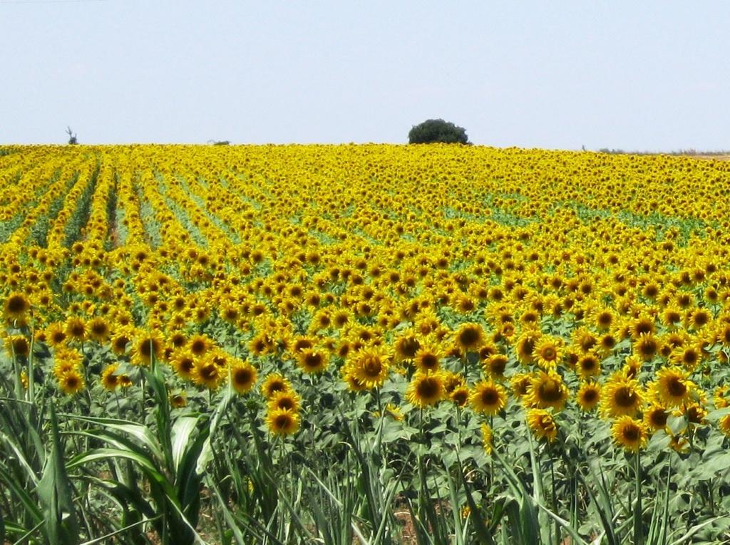 Suncokreti-sunflowers - Page 29 Silivr10