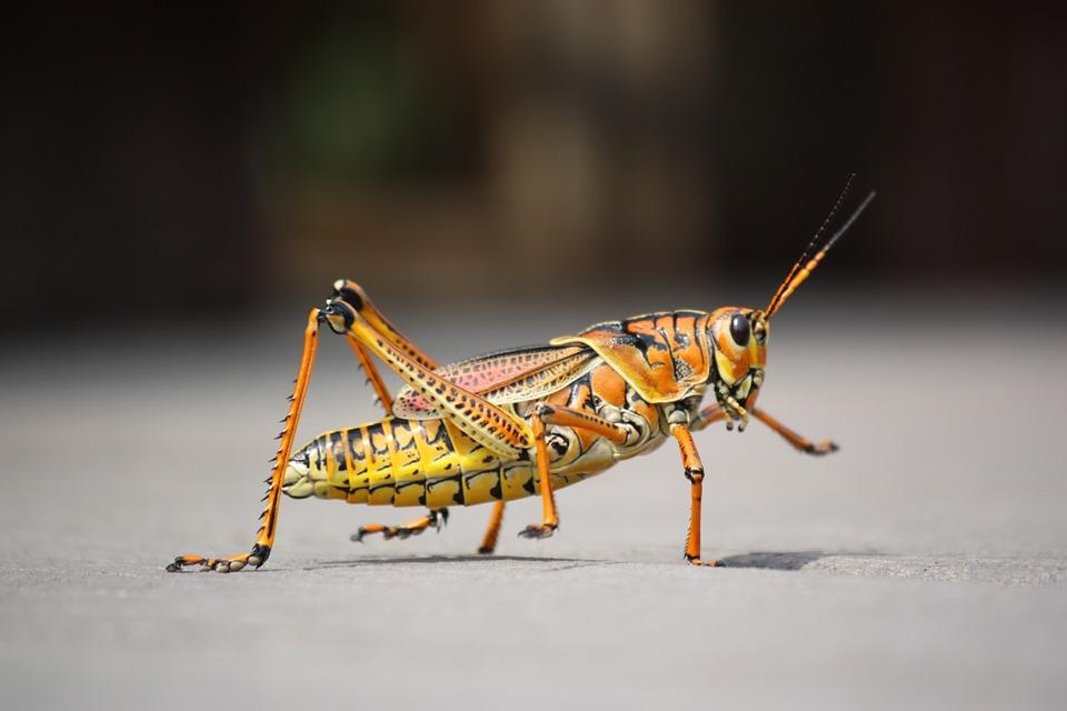 Leptiri i ostali insekti Skakav10