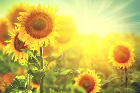 Suncokreti-sunflowers - Page 30 Subbot10