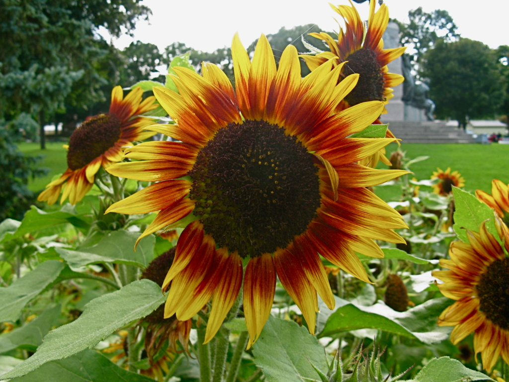 Suncokreti-sunflowers - Page 29 Sunflo12