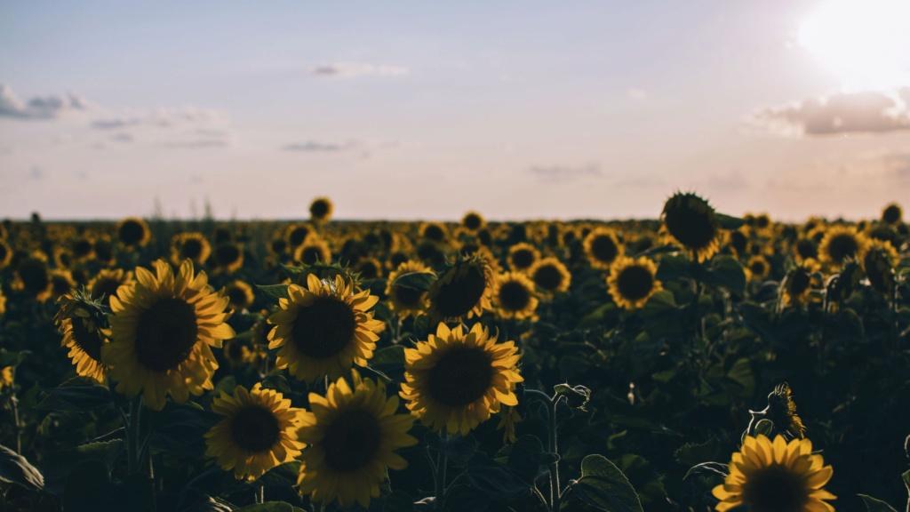 Suncokreti-sunflowers - Page 29 Sunflo13