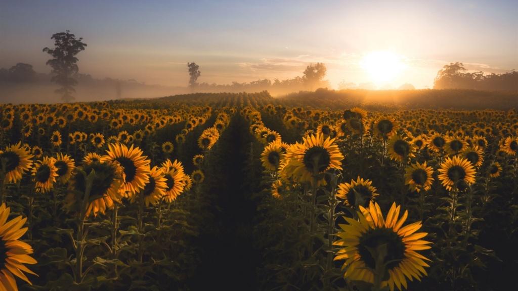 Suncokreti-sunflowers - Page 29 Sunflo14