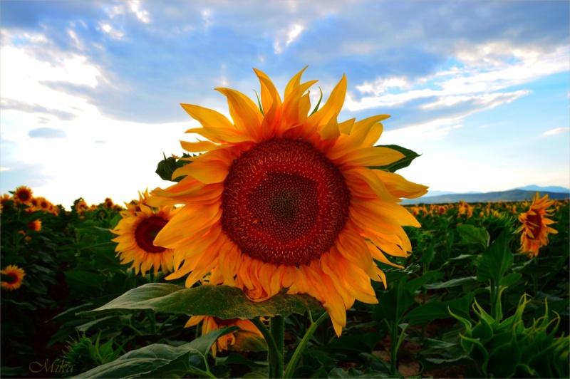 Suncokreti-sunflowers - Page 30 Sunflo17