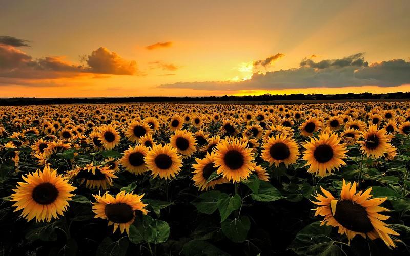 Suncokreti-sunflowers - Page 33 Sunflo23