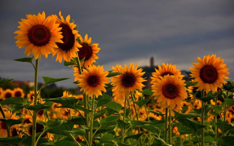 Suncokreti-sunflowers - Page 33 Sunflo24
