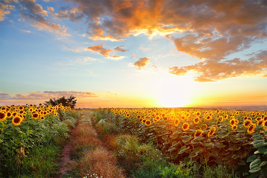 Suncokreti-sunflowers - Page 33 Sunflo25
