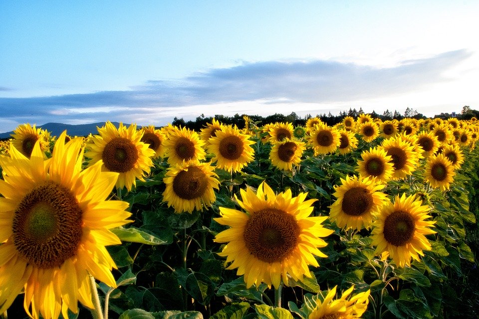 Suncokreti-sunflowers - Page 33 Sunflo26