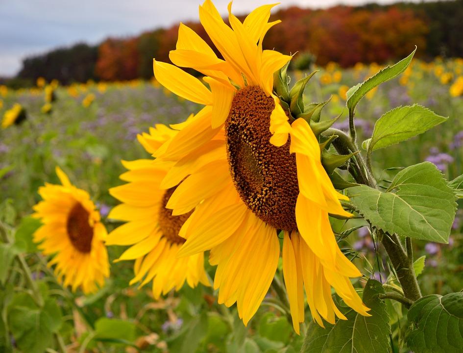 Suncokreti-sunflowers - Page 33 Sunflo27