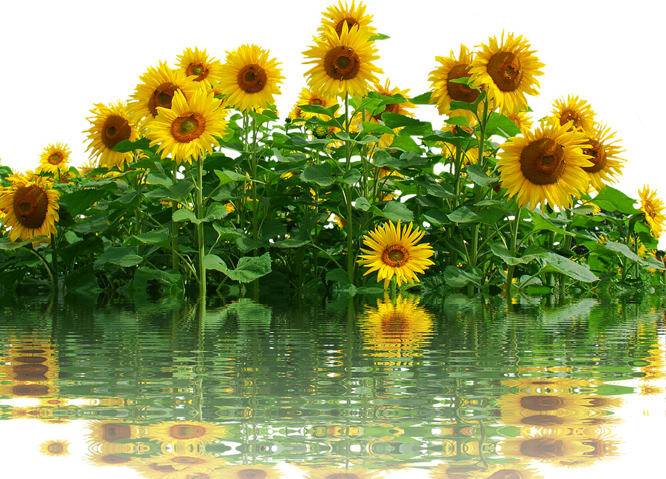 Suncokreti-sunflowers - Page 33 Sunflo28