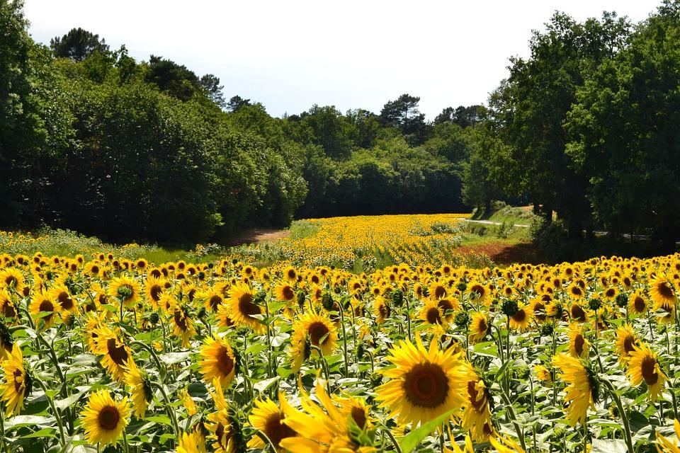 Suncokreti-sunflowers - Page 33 Sunflo29