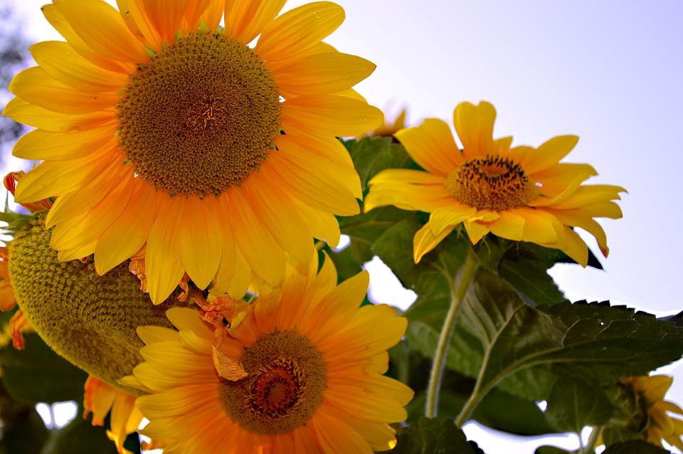 Suncokreti-sunflowers - Page 33 Sunflo30