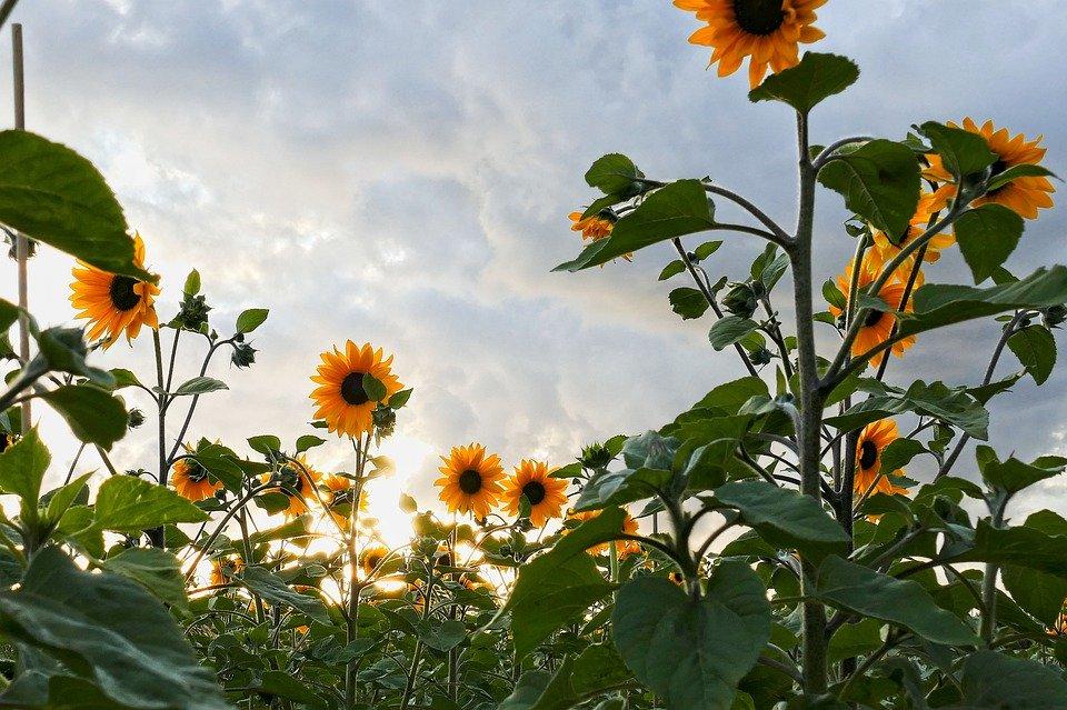 Suncokreti-sunflowers - Page 33 Sunflo31