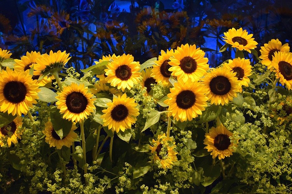 Suncokreti-sunflowers - Page 33 Sunflo32