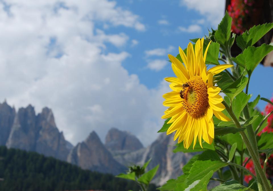 Suncokreti-sunflowers - Page 33 Sunflo33