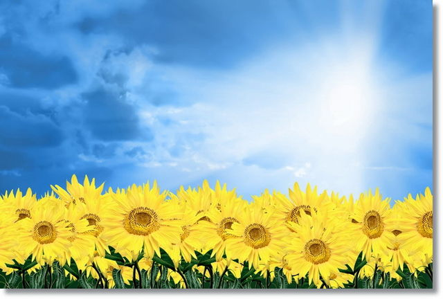 Suncokreti-sunflowers - Page 28 Tablou10