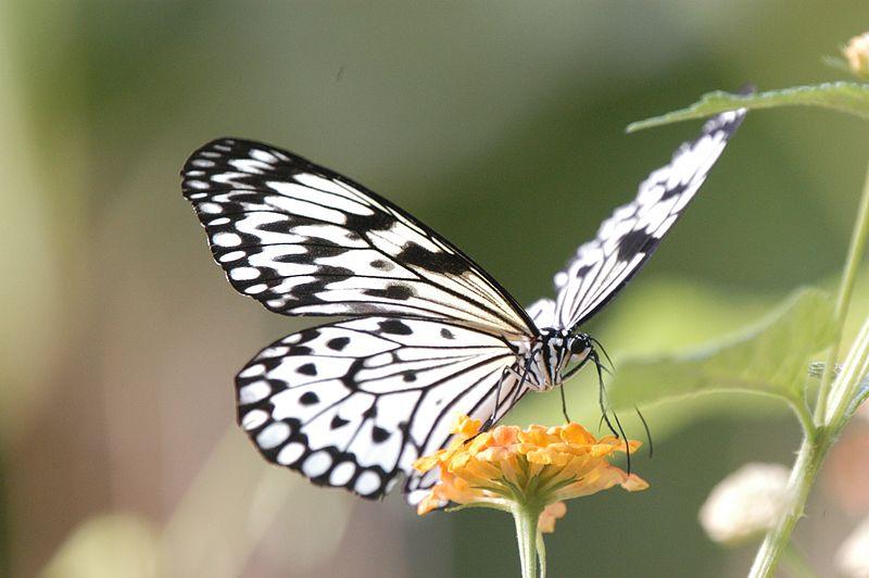 Leptiri i ostali insekti - Page 3 Tafile10