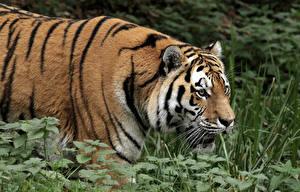 Divlje životinje - Page 3 Tigers13